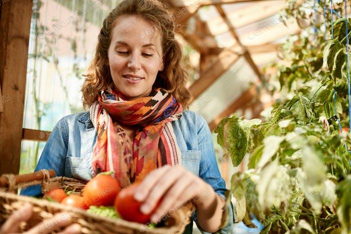 Frau erntet frische Tomaten aus dem Gewächshausgarten und legt reife lokale Produkte in einen Korb
