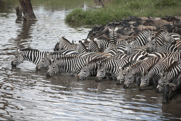 Zebras and Wildebeest at the Serengeti National Park, Tanzania, Africa