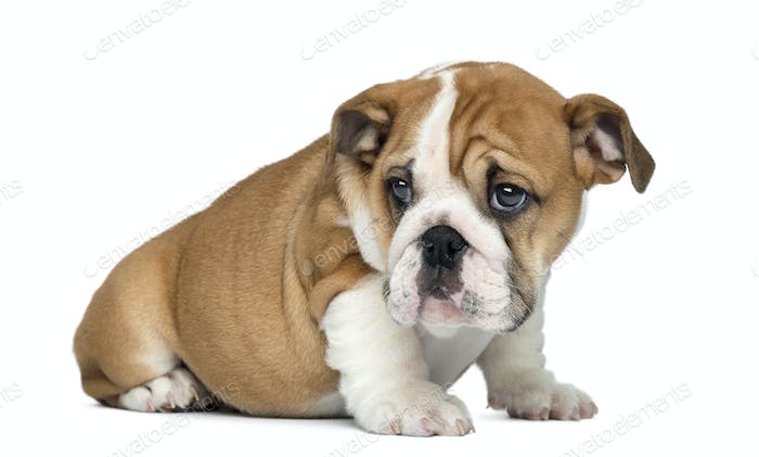 English Bulldog Puppy sitting, 2 months old, isolated on white
