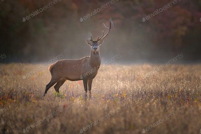 Single Red deer or Cervus elaphus with one horn
