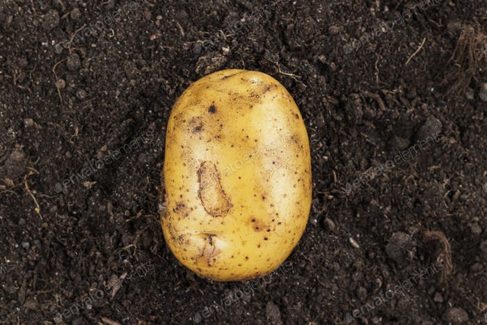 Fresh Potato On The Soil