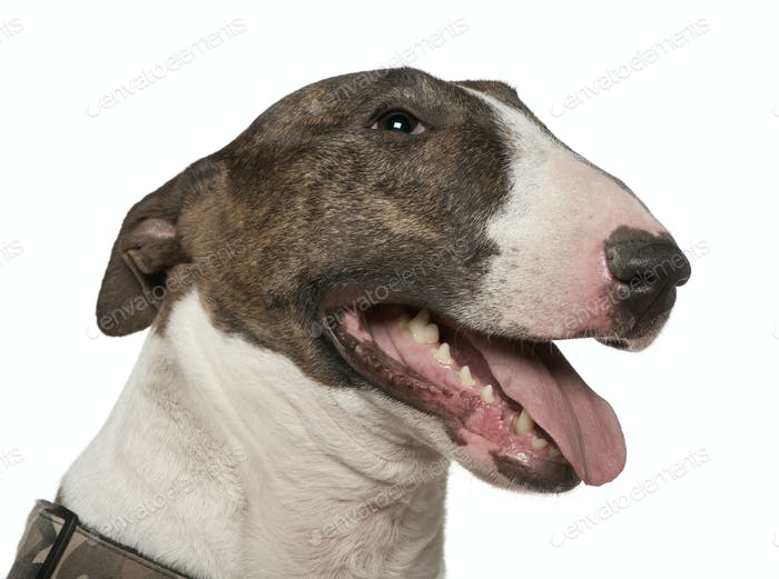 Close-up of Bull Terrier, 5 years old, in front of white background