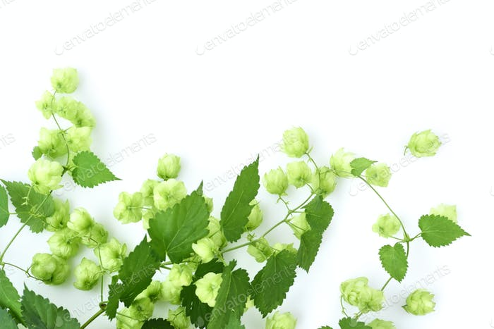 Fresh green hop branch (Humulus), isolated on white background