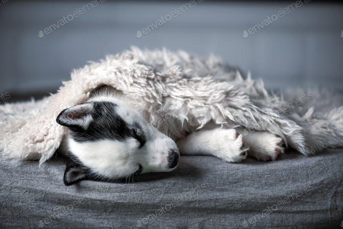 A small white dog puppy breed siberian husky