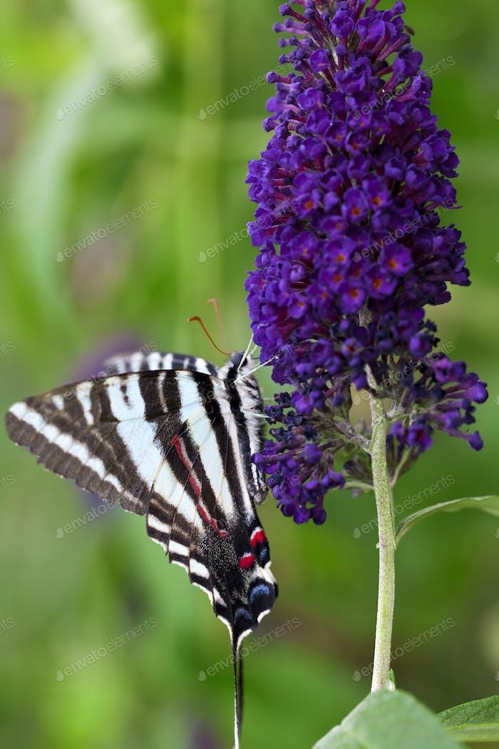 Zebra Schwalbenschwanz Schmetterling