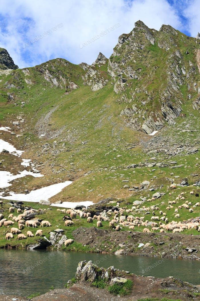 Bergschafe zur Weide