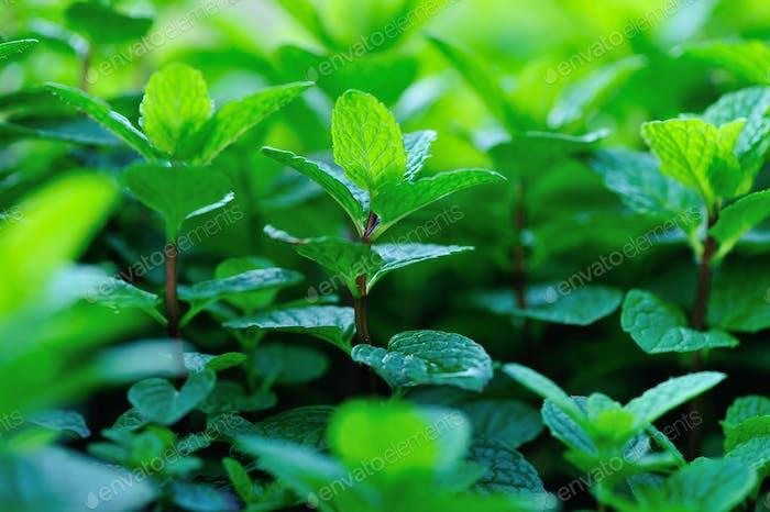 Mint crops