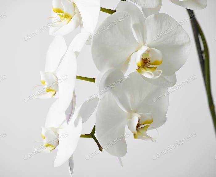 weiße Orchidee Blume