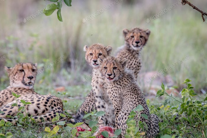Cheetah cubs starring at the camera.