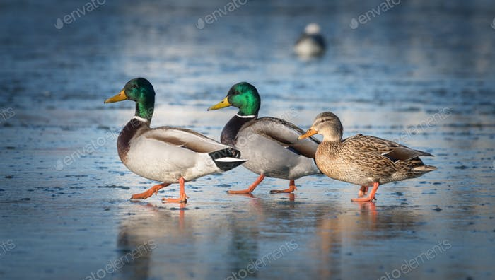 Three beautiful ducks are on the ice
