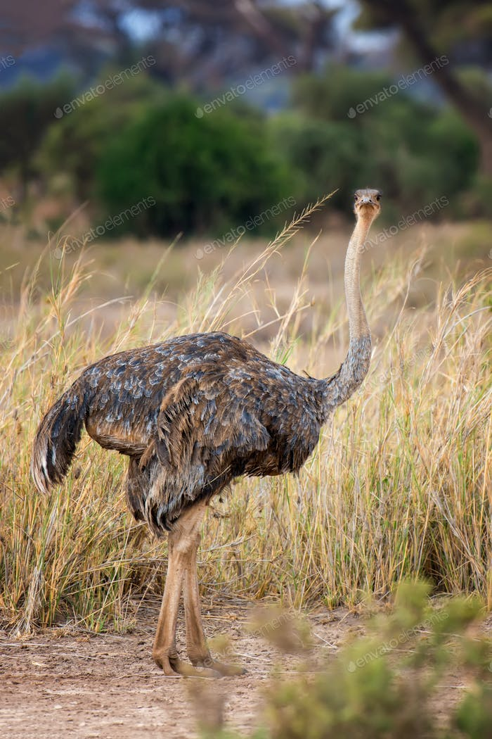 Thumbnail for African ostrich (Struthio camelus)