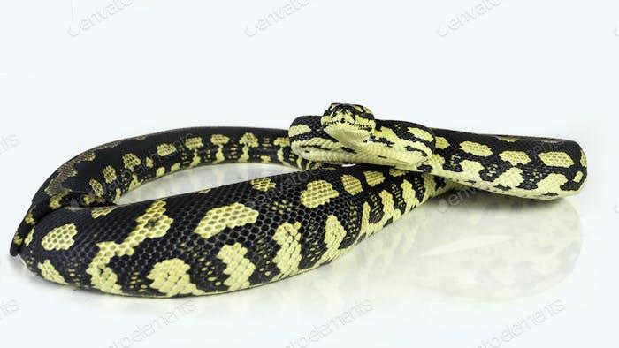 Jungle carpet python 13