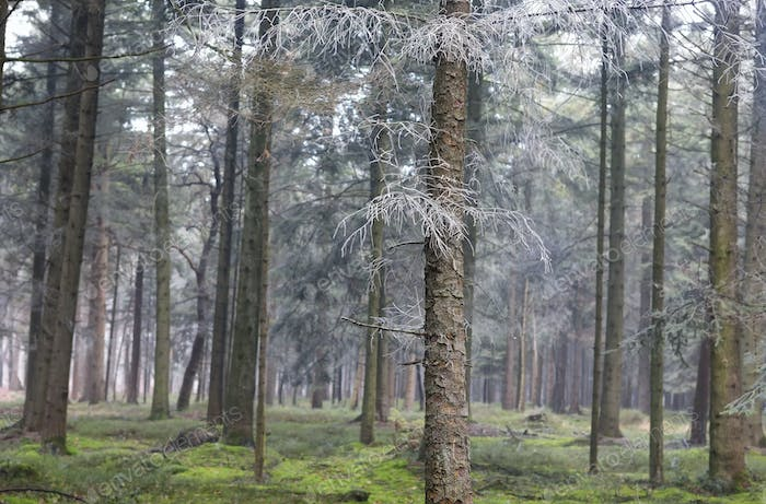 frosted spruces in coniferous forest