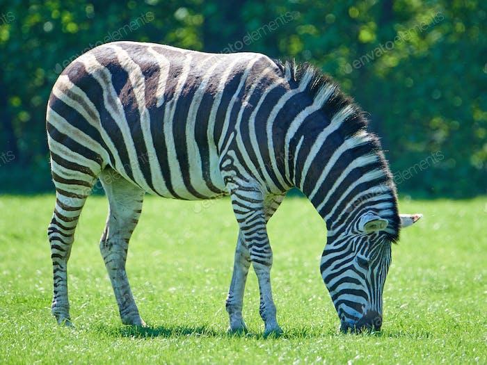Plains Zebra (Equus burchelli chapmani)