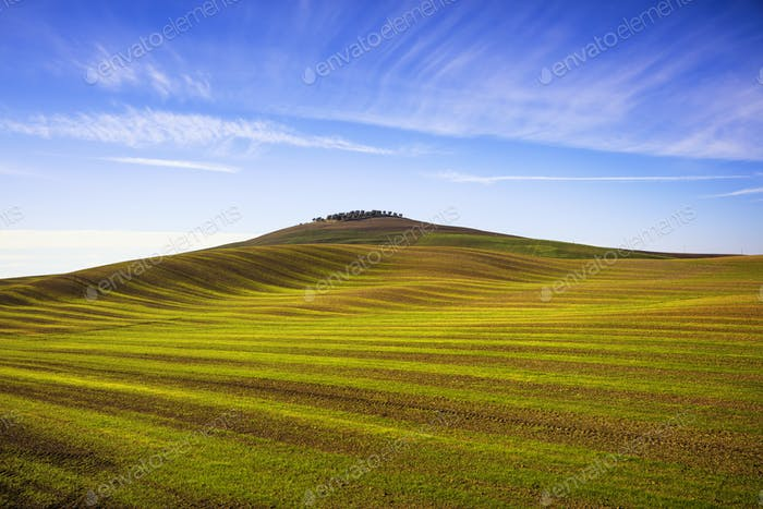 Field striped waves and olive trees uphiill. Tuscany, Italy