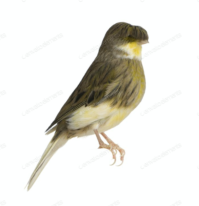 Gloster Corona Canary, Serinus canaria, perched in front of white background