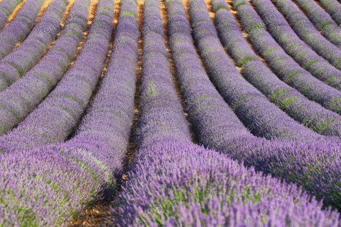 Lavender field in Saint Jurs, Provence, France