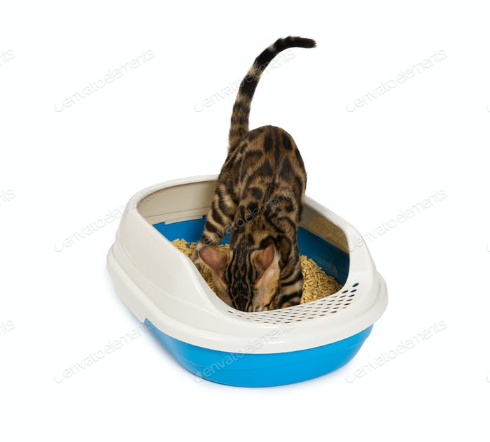Kitten using litter box with wood pellet for pooping or urinate.