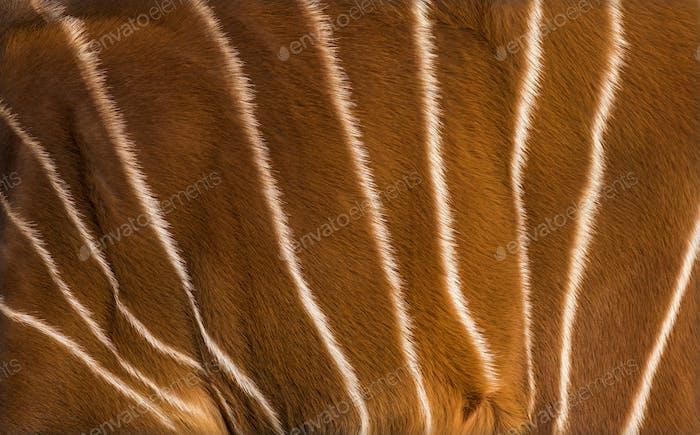 Close up of Bongo, Tragelaphus eurycerus, an antelopes hide
