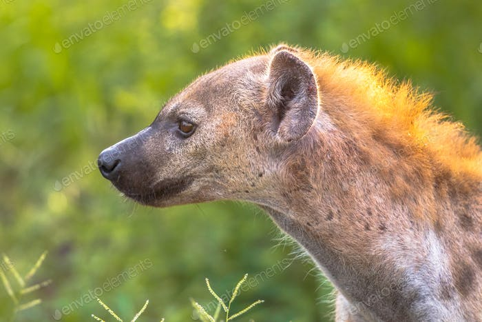 Spotted Hyena scavenger Portrait