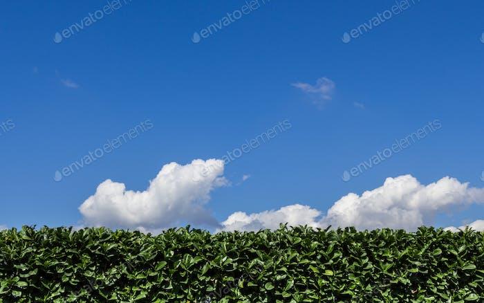 Hedge pruned