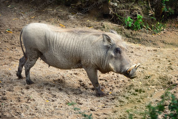 Common warthog (Phacochoerus africanus). Side view