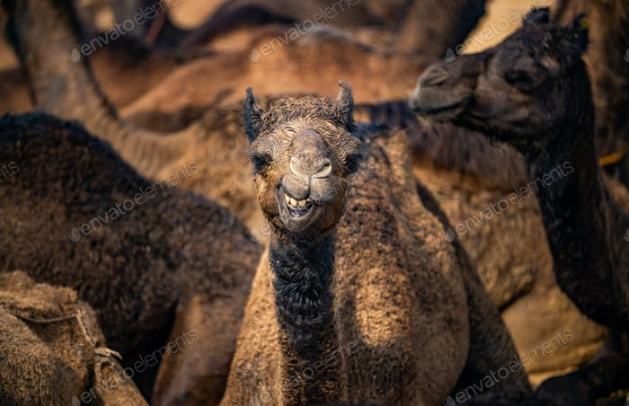 Camels at the Pushkar Fair, also called the Pushkar Camel Fair
