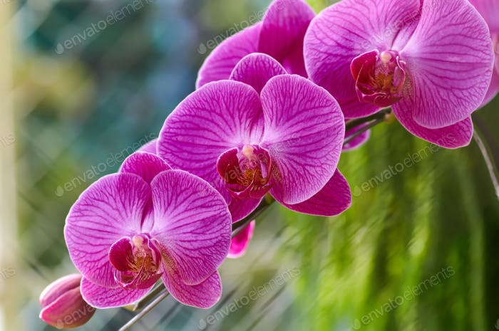 The magenta color orchid blossom