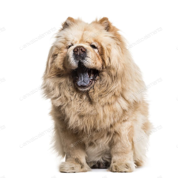 Chow chow dog, 8 years old, sitting against white background