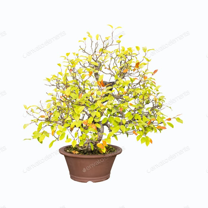 bonsai tree of crabapple