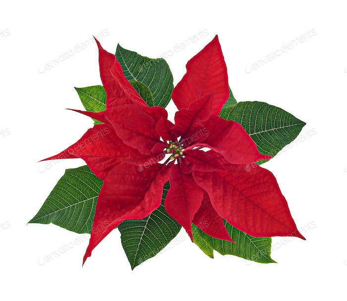 Poinsettia Flower Isolated