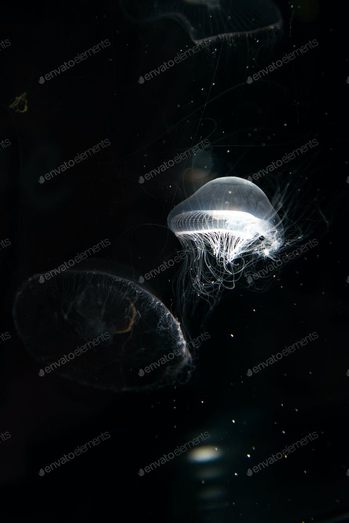 Jellyfish or Rhizostoma pulmo floating in aquarium