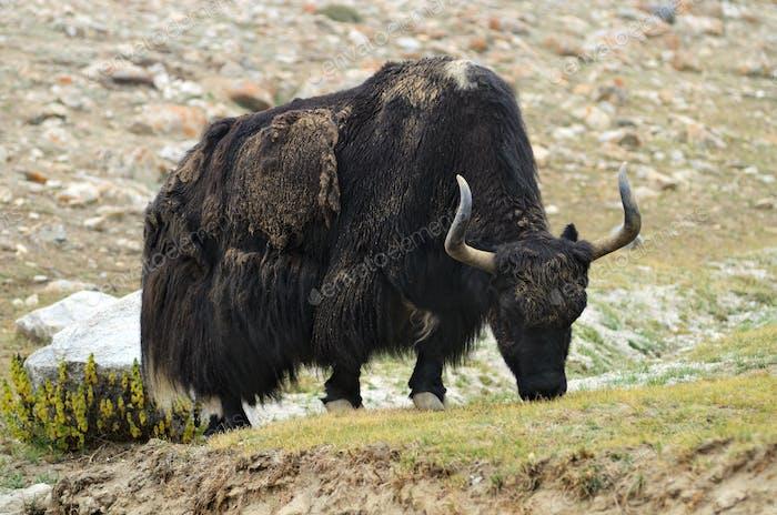 Tibetischer Yak auf der Weide