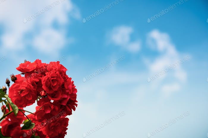 Red roses on blue sky