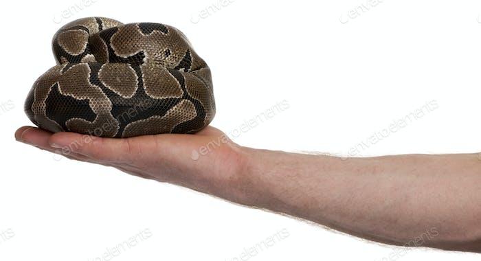 Python regius snake in palm of hand against white background, studio shot