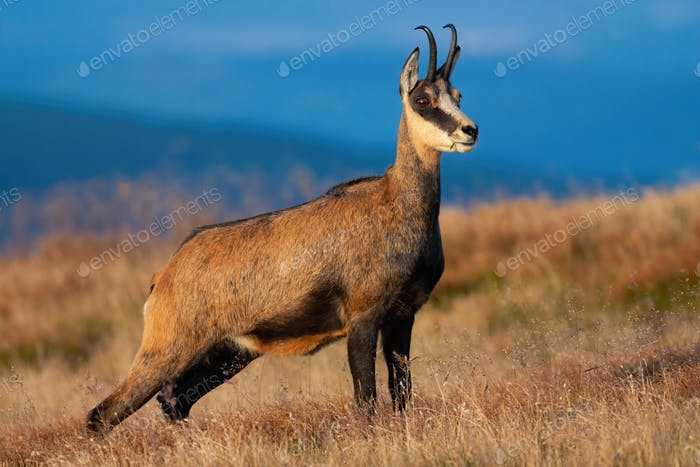 Tatra chamois standing on mountains in summer