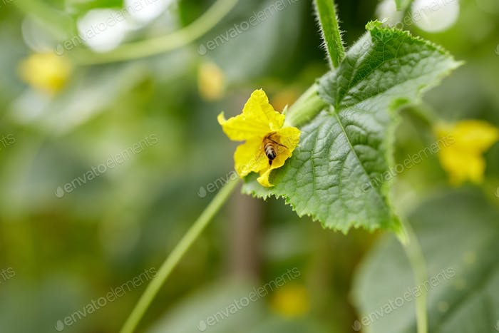 bee pollinating cucumber plant flower at garden