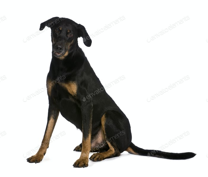 Beauceron dog, 9 years old, sitting in front of white background