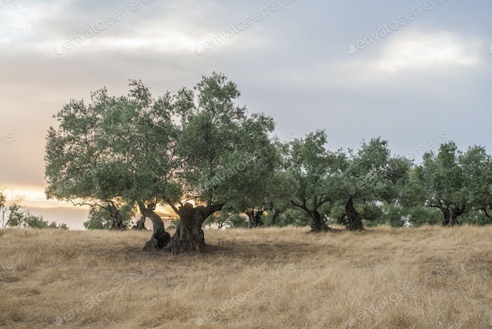 Olive trees at sunset