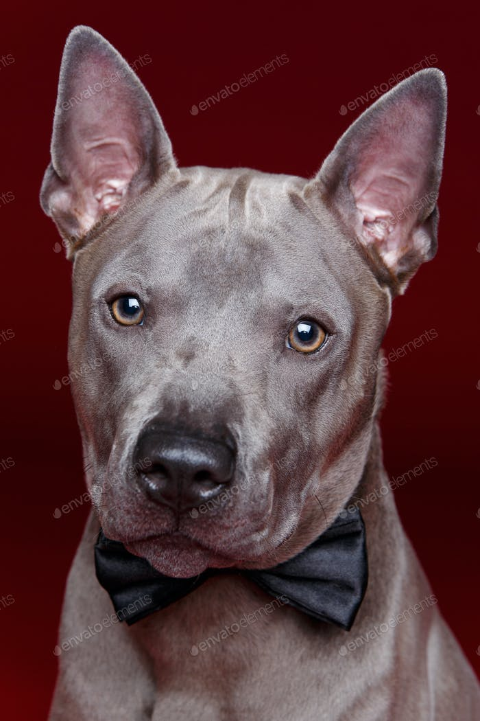 beautiful thai ridgeback dog with bow tie
