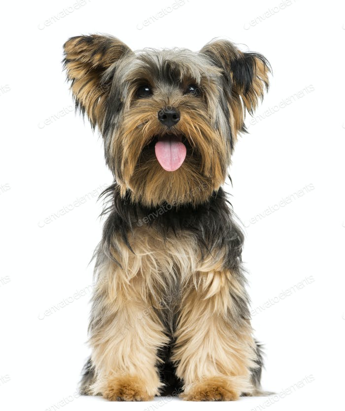 Front view of a Yorkshire Terrier sitting, panting, 9 months old, isolated on white