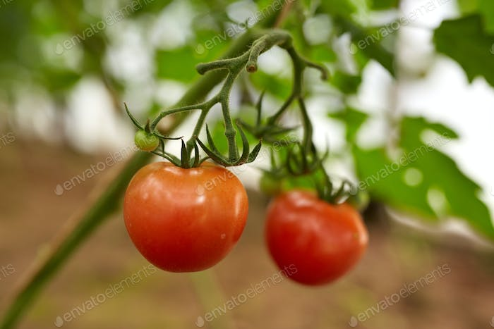 close up of tomato growing at garden