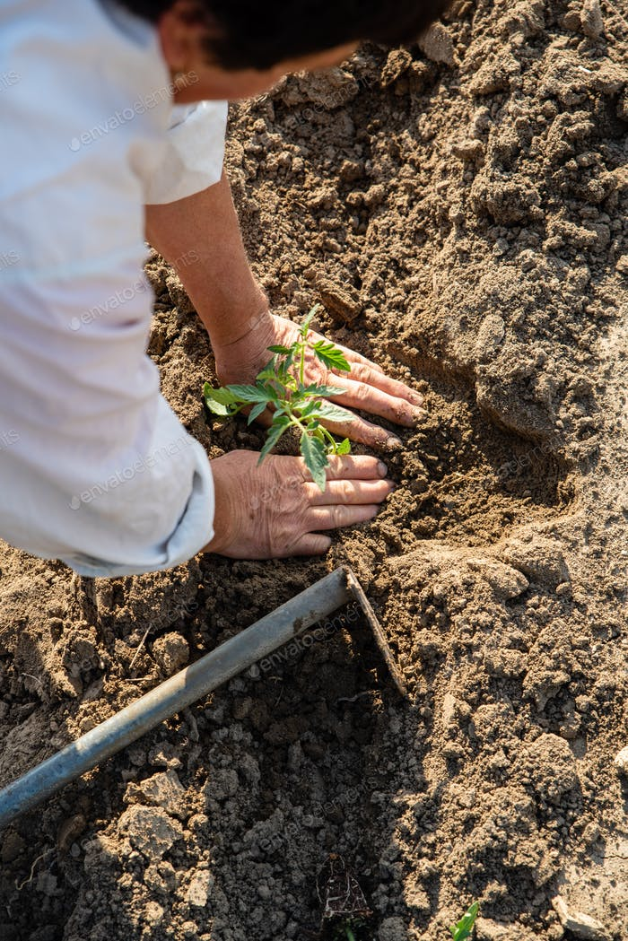 Planting tomatoes in the field