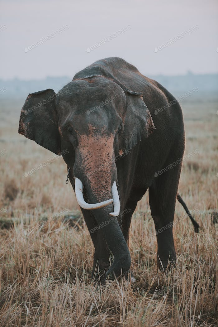 Indian elephant employed in the farming