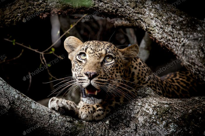 A leopard cub's head, Panthera pardus, between two branches, looking up out of frame, open mouth,