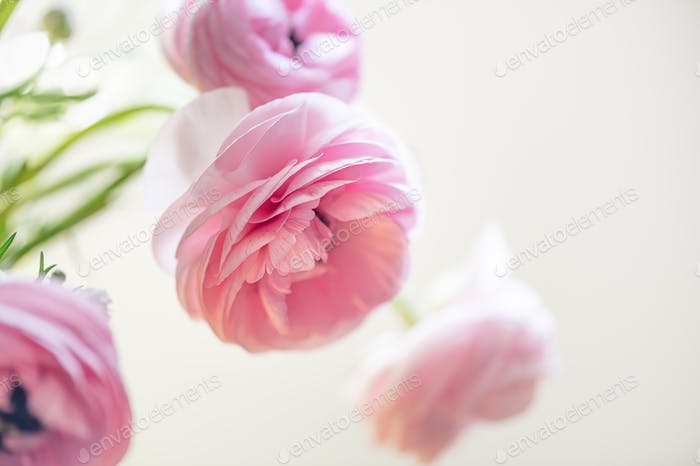 Tender ranunculus flowers