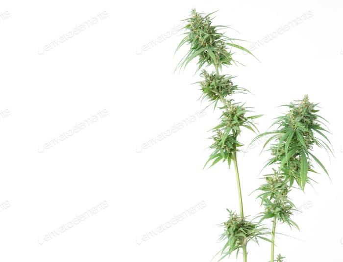 fresh marijuana flower isolated on white background