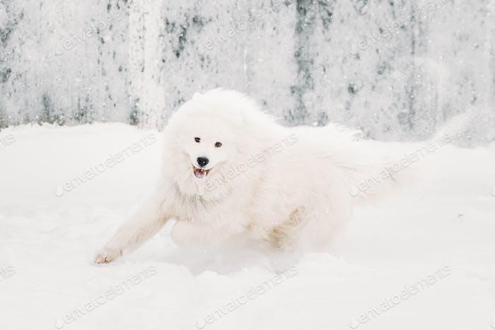 Junge weiß samoyed Hund (Bjelkier, Smiley, Sammy) spielen Runnin