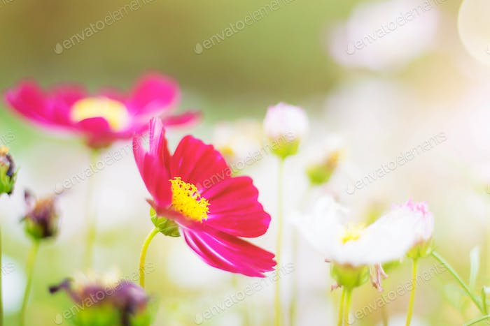 cosmos flowers in garden