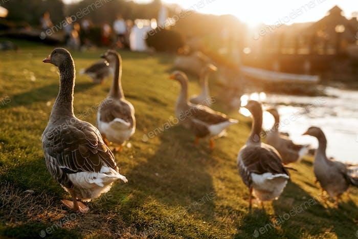 flock of birds ducks walks on the grass at sunset